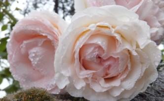 rosescompressees
